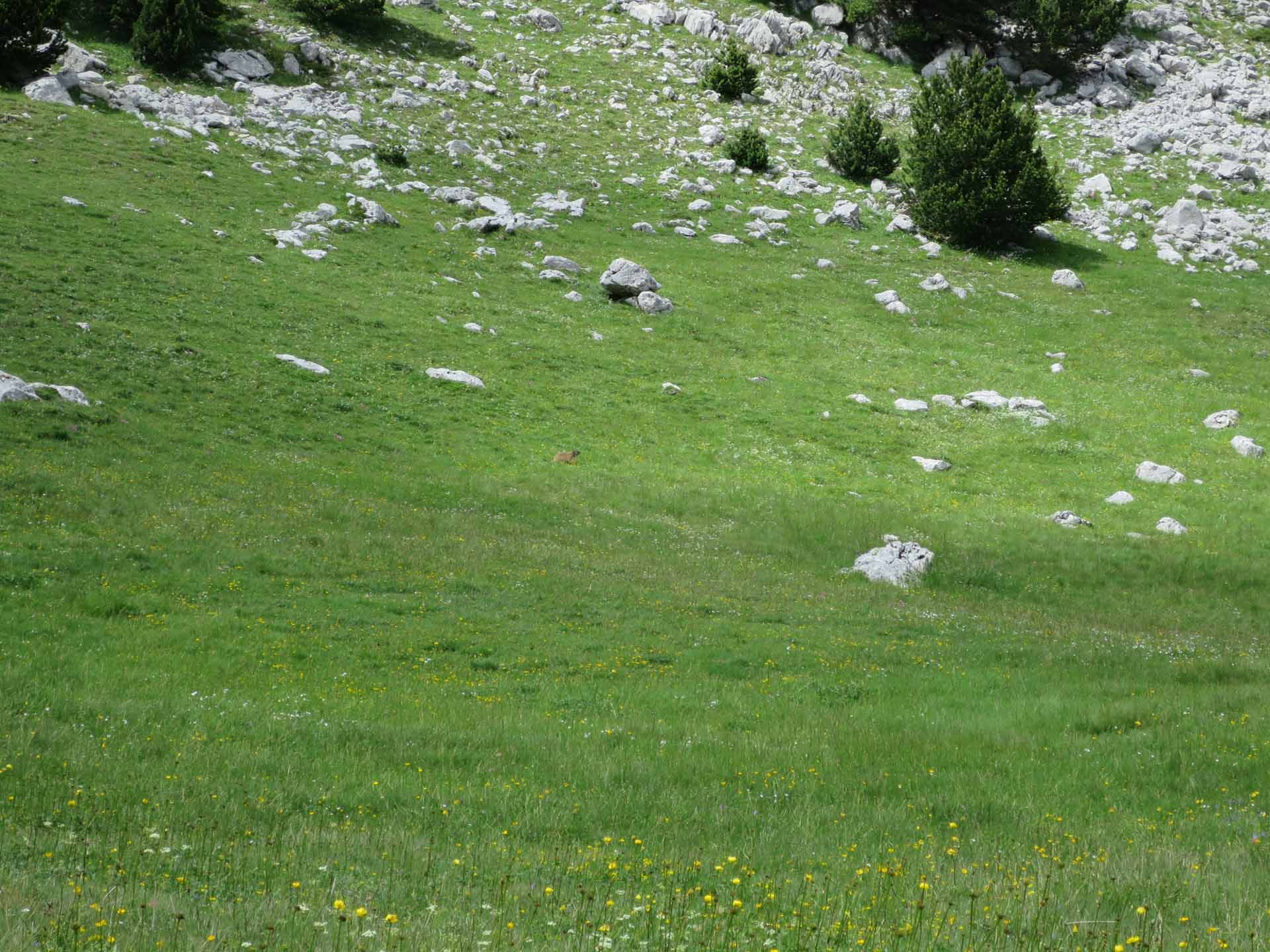 Marmottes Hauts Plateaux Vercors Plaine Quirlie Slow Rando