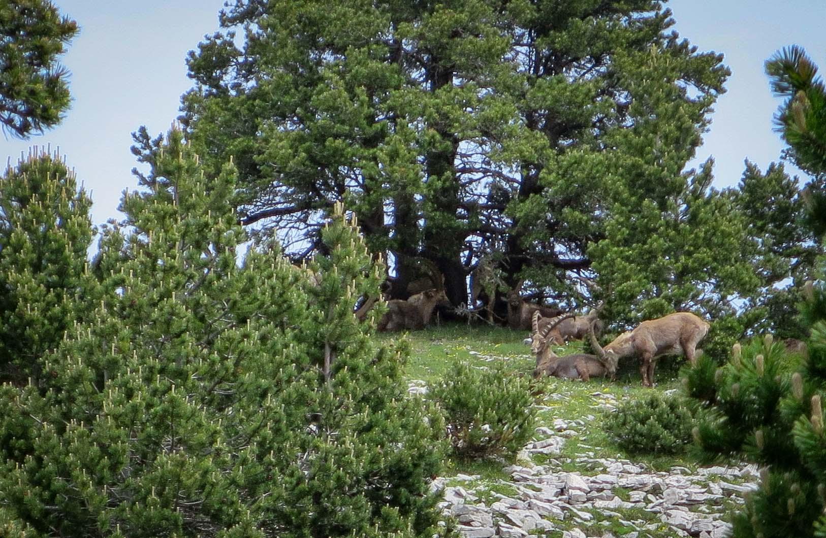 Slow Rando Reserve Hauts Plateaux Vercors Mont Aiguille Bivouac Bouquetins Males Cornes